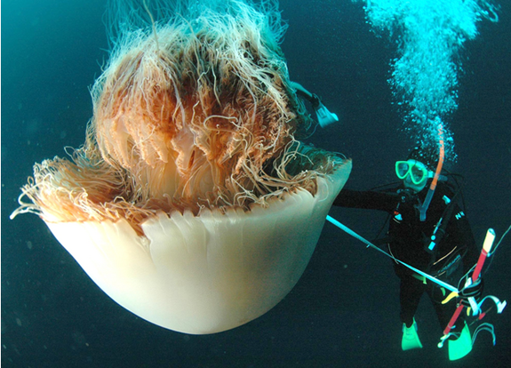 lion's mane jellyfish - biggest jellyfish in the world