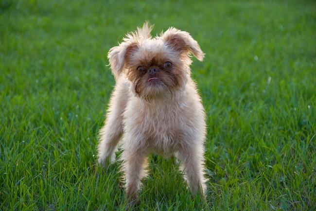 rare dog breeds 12 (1)