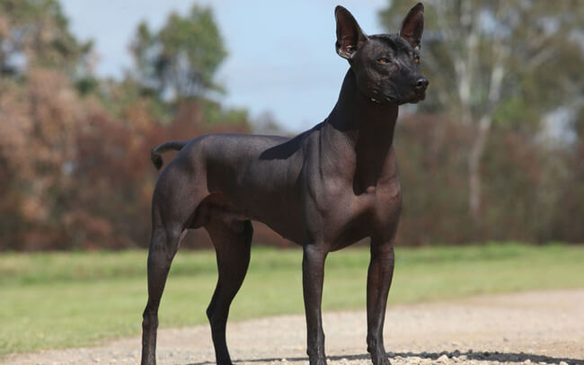 exotic dog breeds 16 (1)