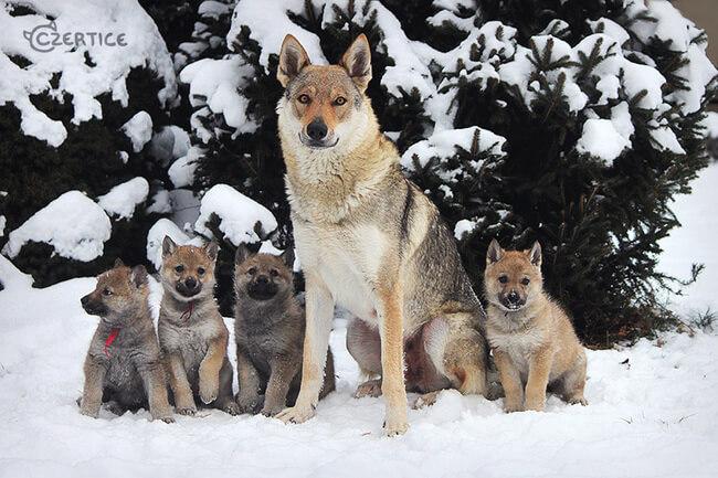 rare dog breeds 17 (1)