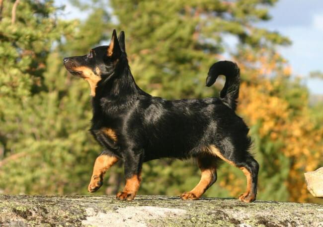 rare dog breeds 23 (1)