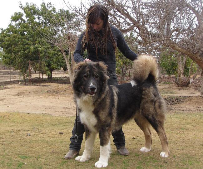 rare dog breeds 30 (1)