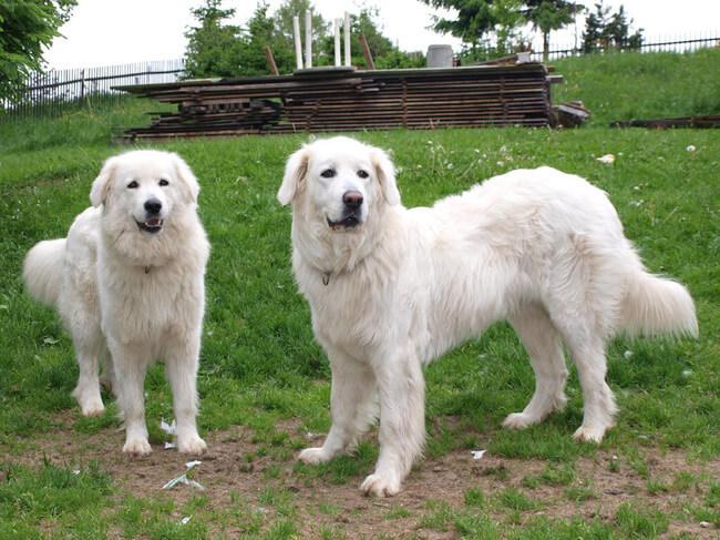rare dog breeds 34 (1)