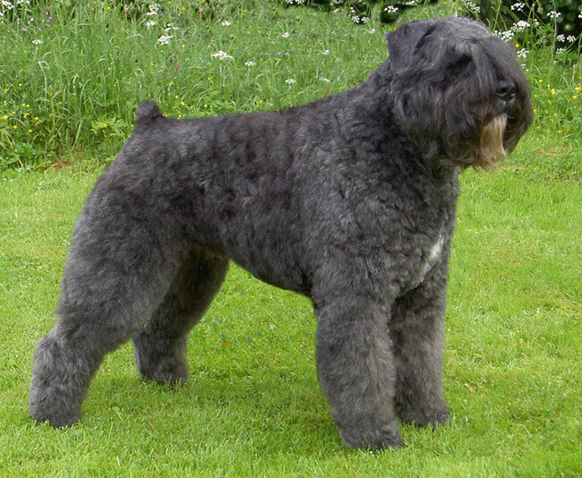 exotic dog breeds 38 (1)