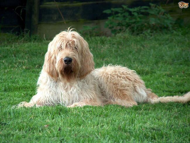 rare dog breeds 39 (1)
