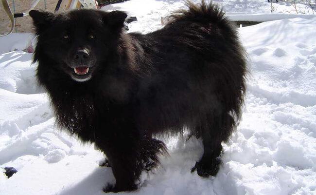 rare dog breeds 41 (1)