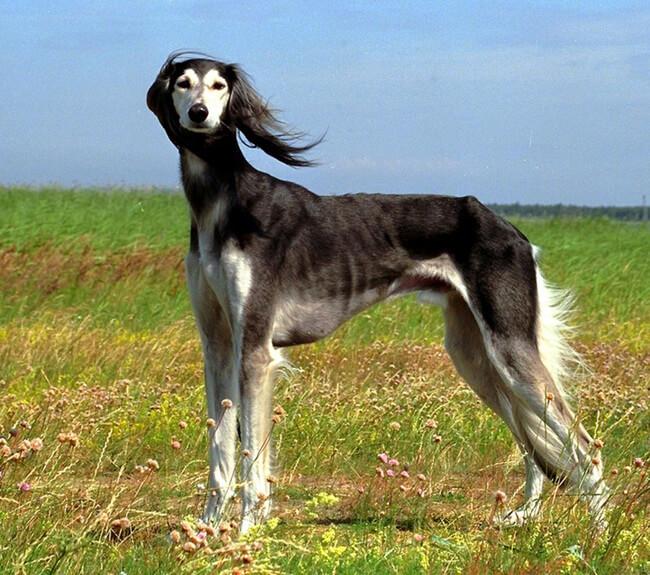 rare dog breeds 43 (1)
