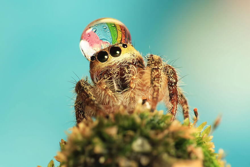 jumping spider water hat 2 (1)