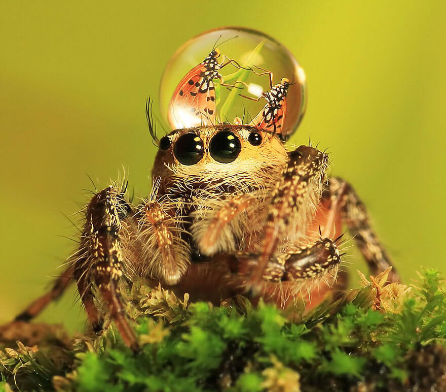 jumping spider water hat 3 (1)