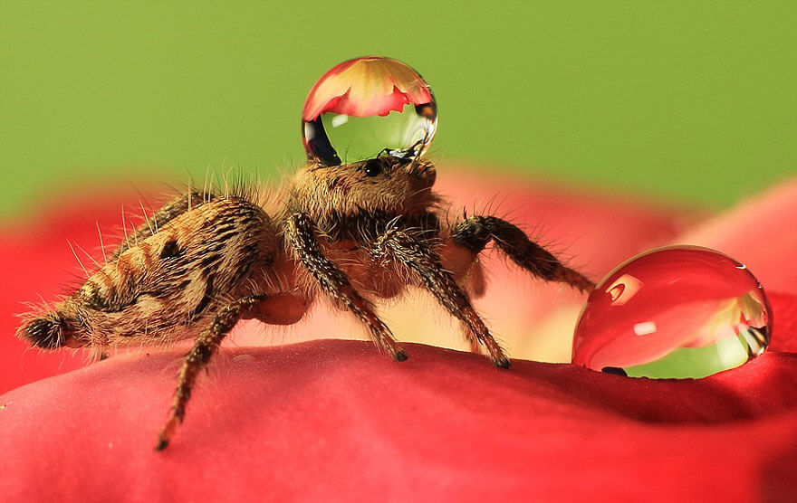 jumping spider water hat 4 (1)