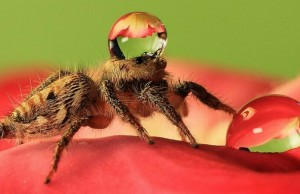 jumping spider water hat feat (1)