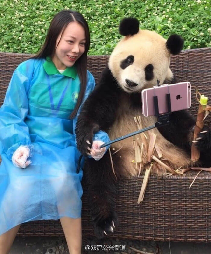 Giant Panda poses for selfies 2 (1)