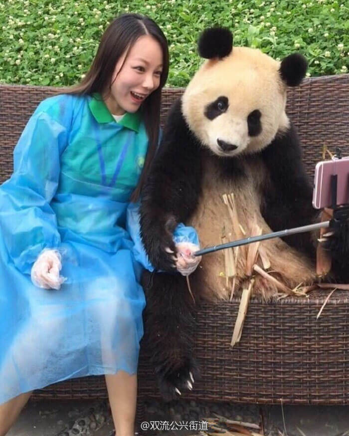 Giant Panda poses for selfies 5 (1)