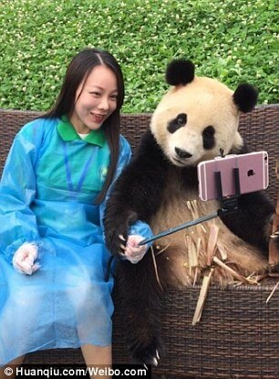 Giant Panda poses for selfies 7 (1)