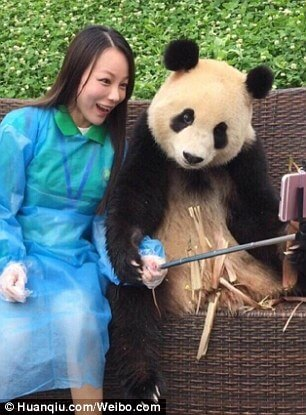 Giant Panda poses for selfies 8 (1)
