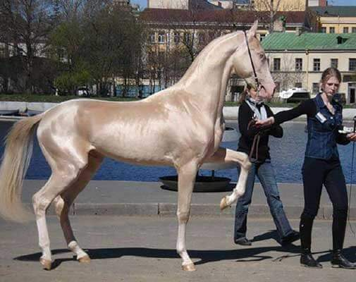 Most Beautiful Horse In The World 5 (1)