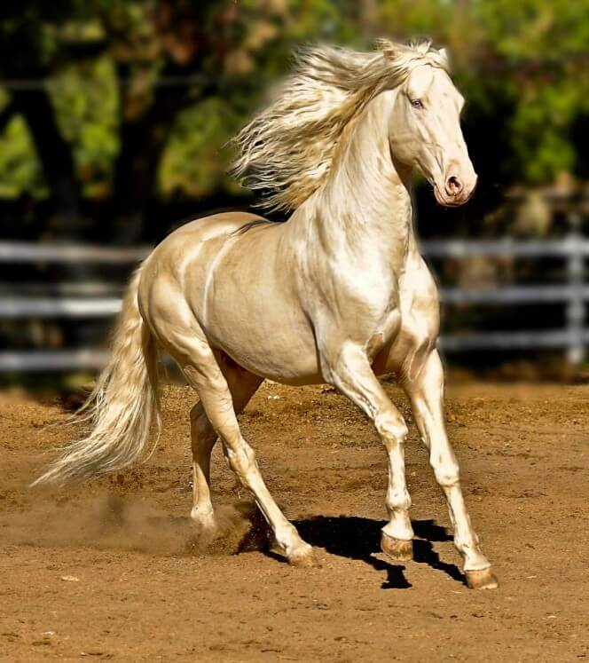 Most Beautiful Horse In The World 9 (1)