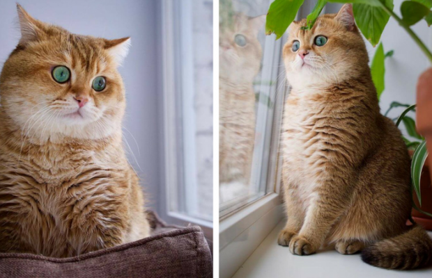Pictures Of The Hosico Cat Proving Once And For All Puss In - Hosico the cat is pretty much the real life puss in boots