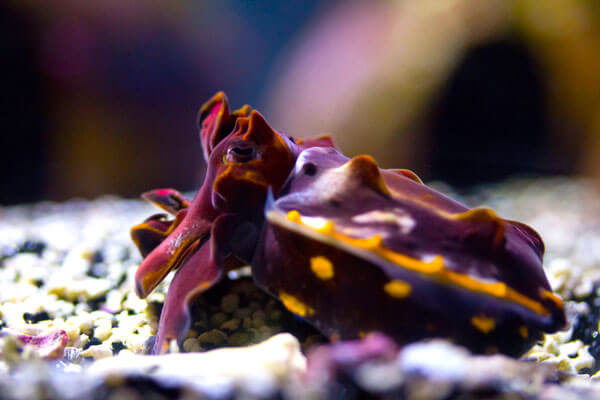 tiny underwater hippos - flamboyant cuttlefish 3 (1)