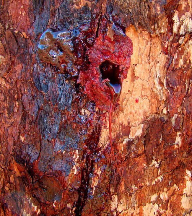 bloodwood tree (1)