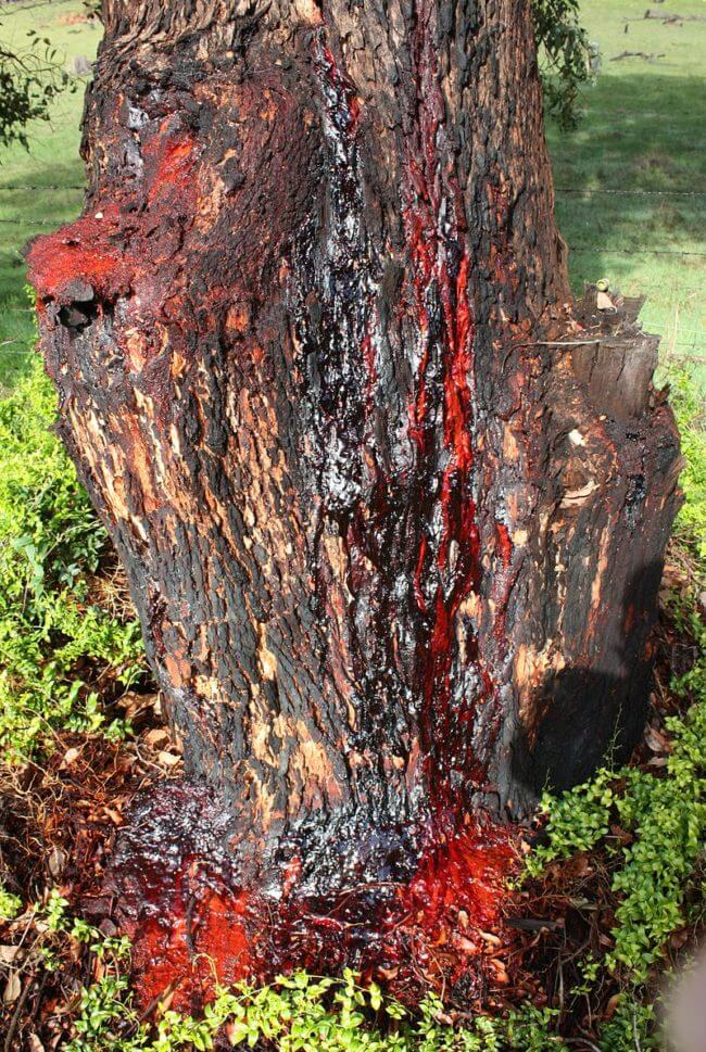 bloodwood tree 2 (1)