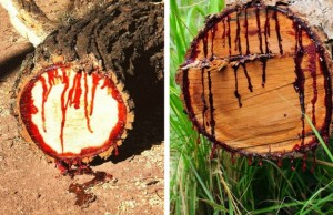 bloodwood tree feat