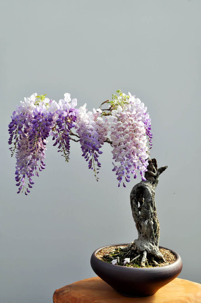 bonsai tree pictures 10 (1)