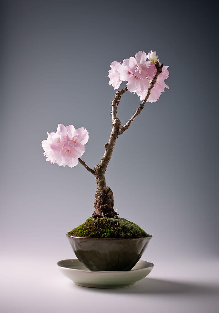 bonsai tree pics 14 (1)