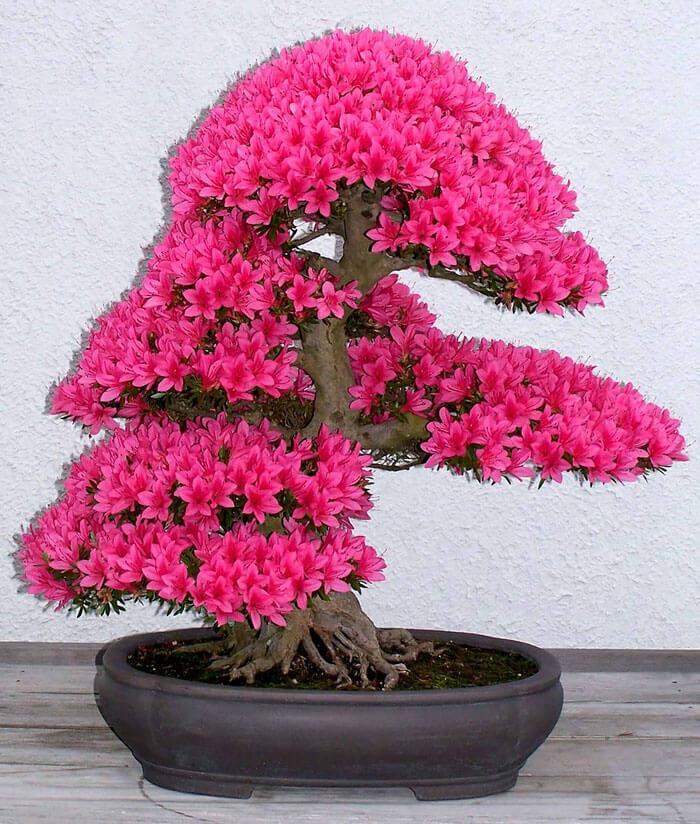 bonsai tree pics 17 (1)