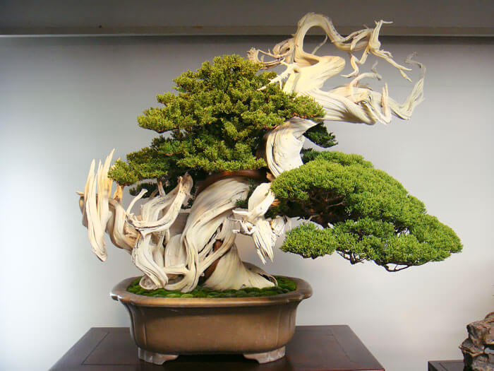 bonsai trees 2 (1)