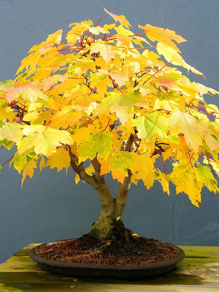 bonsai tree pics 20 (1)