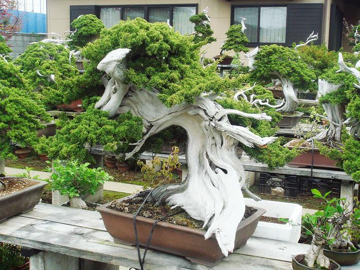 penzai trees 24 (1)