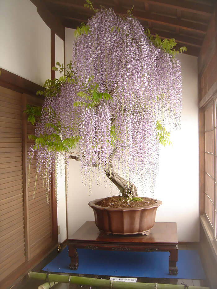 bonsai tree pictures 3 (1)