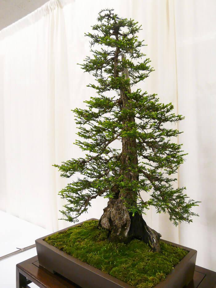 penzai trees 30 (1)