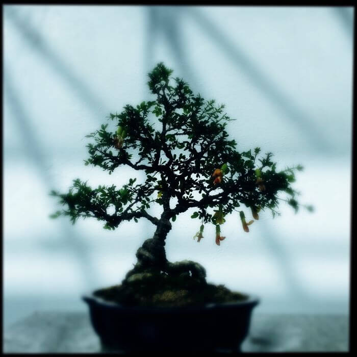 bonsai trees 38 (1)