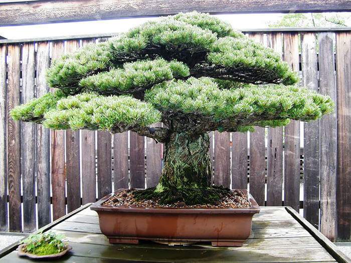 bonsai tree pictures 4 (1)