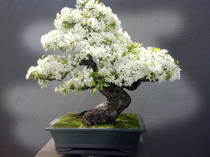 bonsai tree pictures 5 (1)