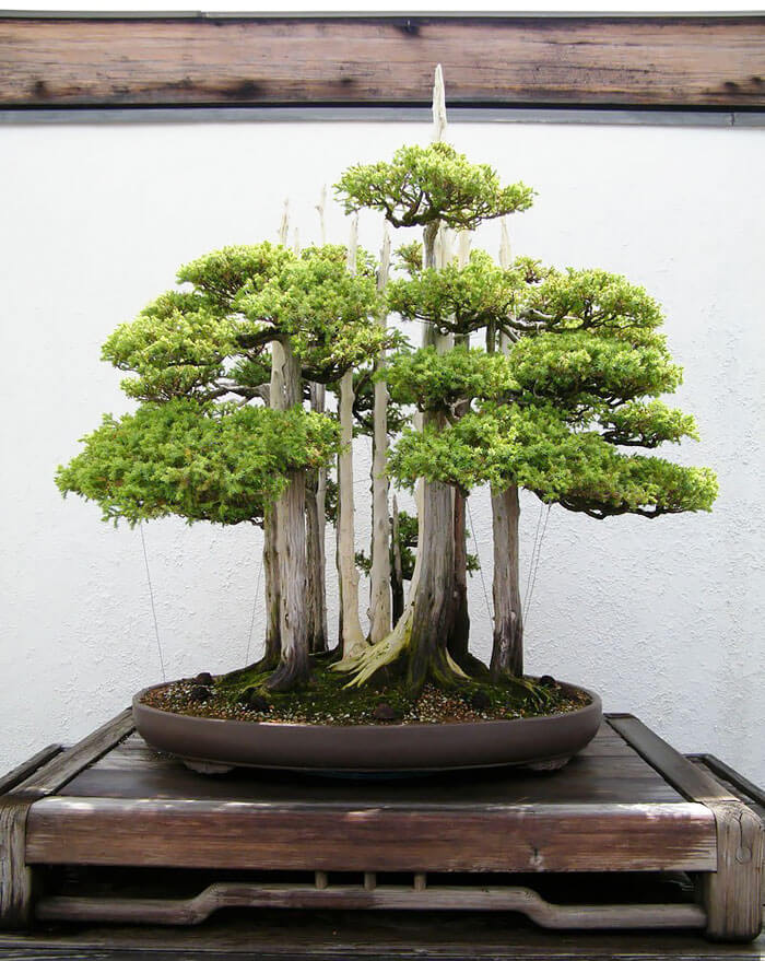 bonsai tree pictures 6 (1)