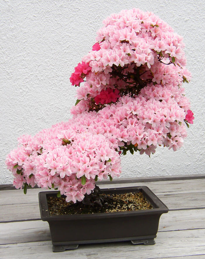 bonsai tree pictures 7 (1)