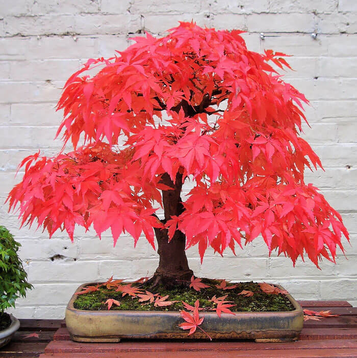 bonsai tree pictures 8 (1)