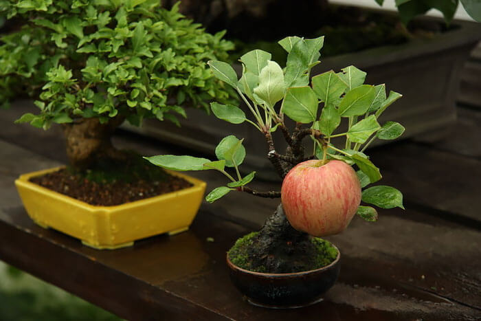 bonsai tree pictures 9 (1)