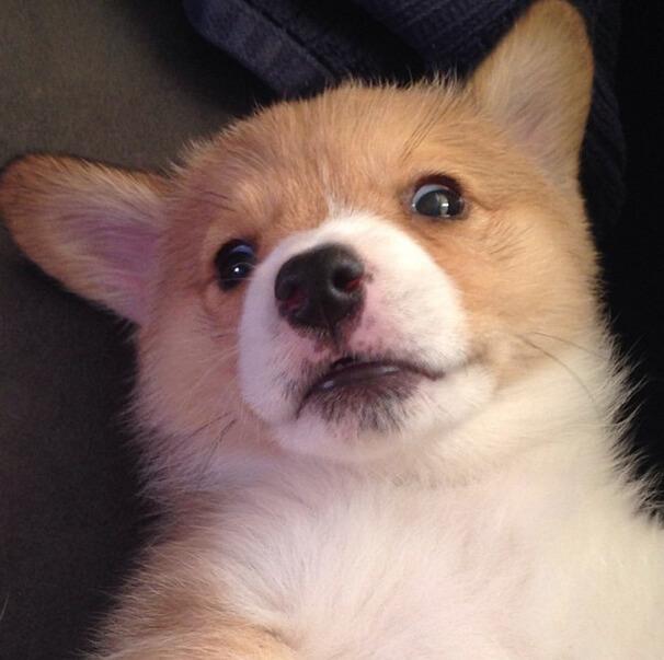 corgi dogs 10 (1)