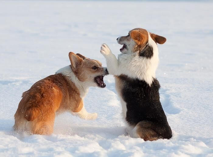 corgi puppies 2a (1)