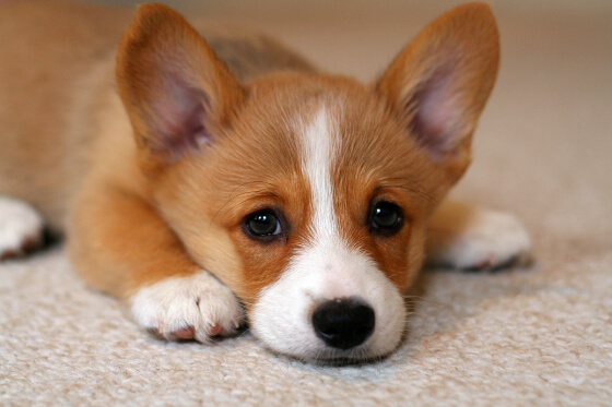 corgi puppies 3a (1)
