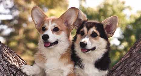 5 Reasons Why Corgi Puppies Are The Best And 25 Pictures