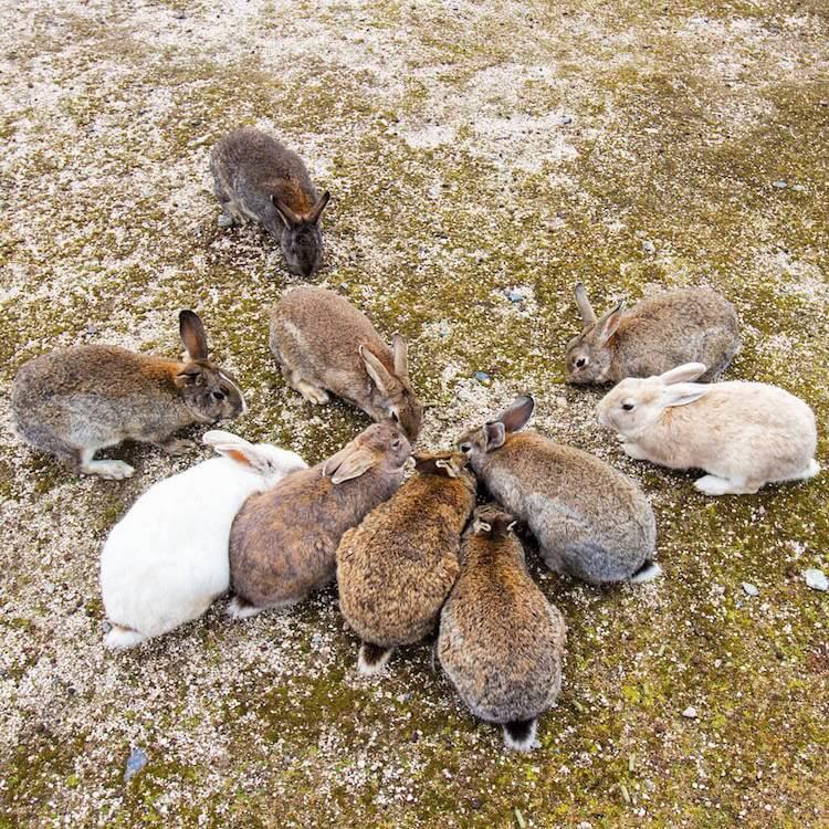 okunoshima rabbit island 11 (1)