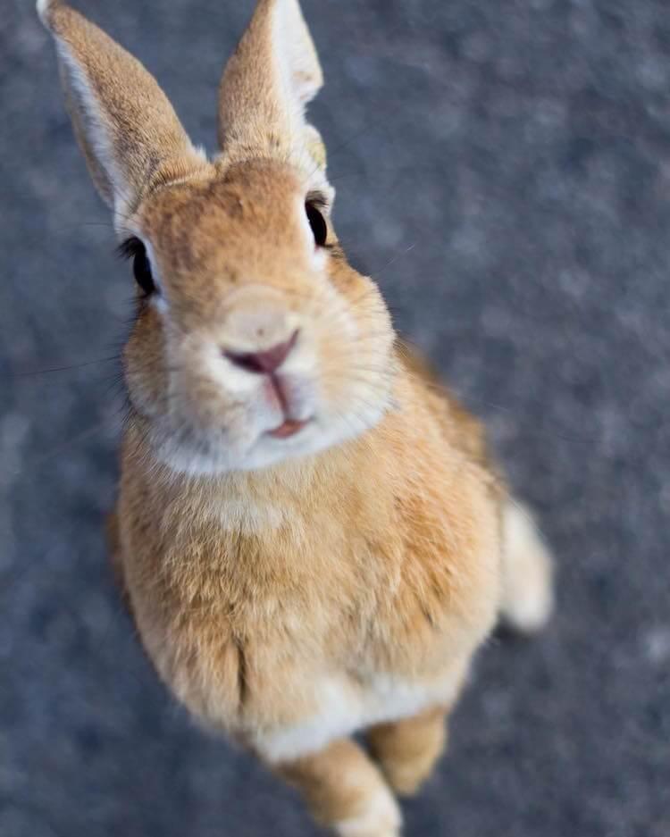 okunoshima rabbit island 12 (1)