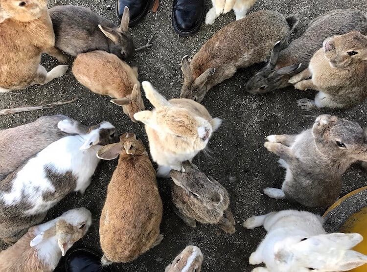 okunoshima rabbit island 2 (1)