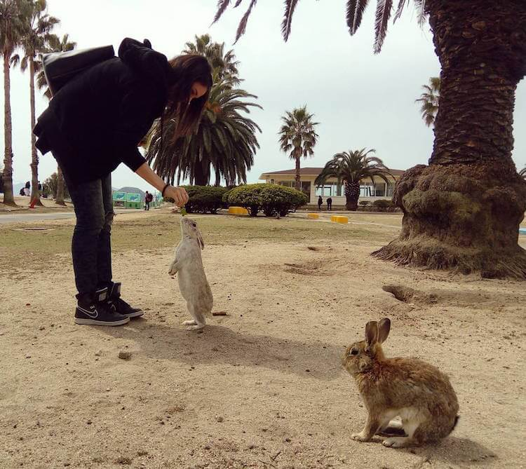 okunoshima rabbit island 4 (1)