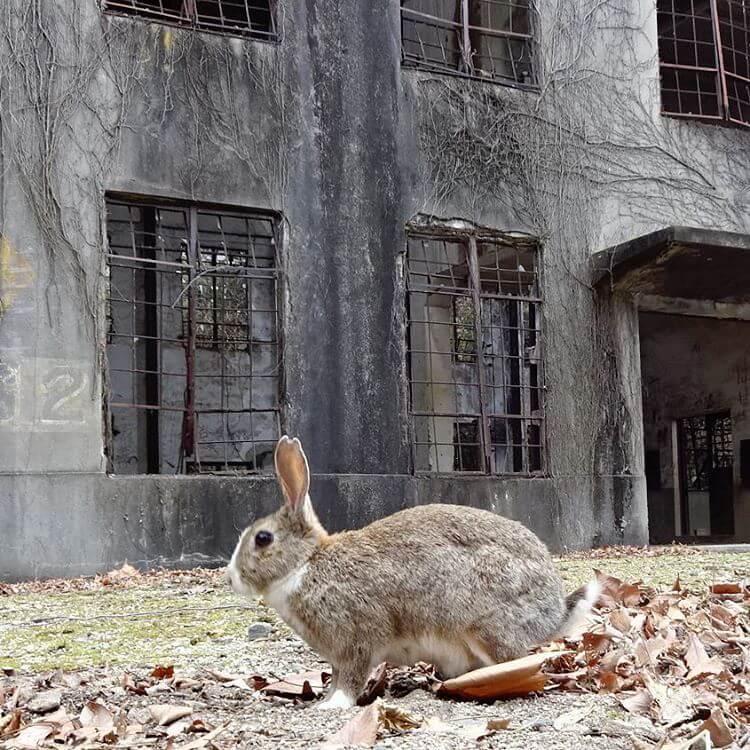 okunoshima rabbit island 9 (1)